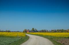 In between yellow fields (Infomastern) Tags: raps söderslätt countryside field fält gul landsbygd landscape landskap road väg yellow