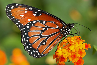 Papillon Reine / Queen butterfly (Danaus gilippus)