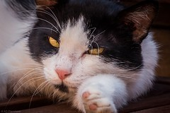 Wake me again...I'll kill you! (Anthony P26) Tags: cat category crystaldeluxe kemer places travel turkey sleep snooze wake paw glance stern angry unhappy canon1585mm canon70d canon outdoor streetanimals whiskers eyecontact eyes stretch