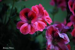Drops (ermy70) Tags: flowers fleurs flowerwatcher flickrunitedaward fiori nature garden giardino primavera spring