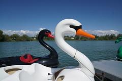 The swans are out (Let Ideas Compete) Tags: lafayette colorado co 80026 waneka lake swan swans blackorwhite lakewaneka wanekalake sunnyday blackswan whiteswan