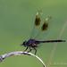 Elm Lake Dragonfly