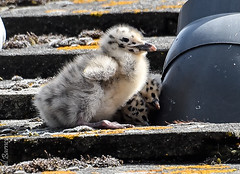 Seagull chick (philbarnes4) Tags: seagull chick chicks house roof broadstairs thanet kent england bird birds