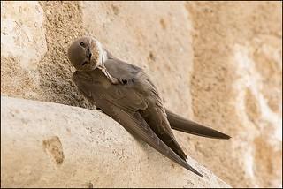 Hirondelle de rochers (Ptyonoprogne rupestris)