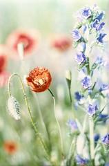 Flower Power #9 (Moryc Welt) Tags: fujicolorc100 expired c41 poppy flowers iscanforlinux gimp colors oreston50 chinoncxii tetenalsp45 epsonv600 asa100 overexposed bright