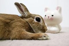 Ichigo san 751 (Ichigo Miyama) Tags: いちごさん。うさぎ ichigo san rabbit うさぎ netherlanddwarfbunny netherlanddwarf brown ネザーランドドワーフ ペット いちご