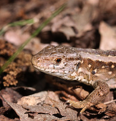 Eye in eye: Zauneidechse/Sand lizard (Lacerta agilis), Germany