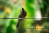 Bird (SKR Farhad Photography (SKR)) Tags: bird shakilrana shakilranafarhad birds pakhi skrfarhad