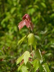 Red Maple (Dendroica cerulea) Tags: redmaple acerrubrum acer hippocastanoideae sapindaceae sapindales maple tree leaves branches spring whiteoaktrail helencfenskevisitorcenter greatswamp greatswampnationalwildliferefuge greatswampnwr morriscounty nj newjersey