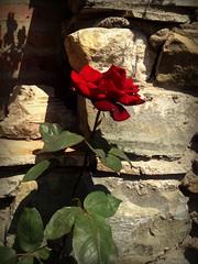 Rose flower, роза (Anna Gelashvili) Tags: цветокроза роза rose flower цветок flowers цветочки garden красныецветочки roseflower