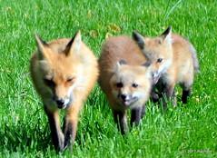 DSC_0777 (rachidH) Tags: fox renard vulpes foxcub renardeau redfox renardroux vulpesvulpes backyard frontyard wildlife sparta newjersey nj rachidh nature
