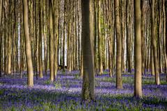 Enchanting Hallerbos... [Halle, Belgium - 2017] (Jose Constantino Gallery) Tags: halle hallerbos belgium forest tree trees purple josé jose constantino 2017 nikon d7100 spring flower wood garden horse magic
