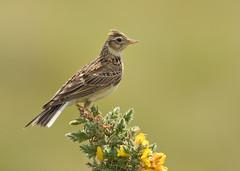 Skylark - Alauda arvensis (Gary Faulkner's wildlife photography) Tags: skylark alaudaarvensis