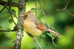 Northern Cardinal (Alan Smith Photography) Tags: wildlife htimsnala northerncardinal shelterisland newyork unitedstates us