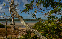 Northern Tree Snake (Dendrelaphis calliagastra) (Mattsummerville) Tags: northerntreesnake dendrelaphiscalligastra somerset capeyork australia queensland snake colubrid reptile seisa beach ocean north