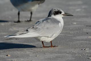 Forster's Tern (First winter plumage), Sterne de Forster, Sterna Forsteri, Gaviote de Forster, Charran de Forster