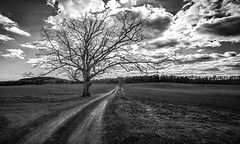 The oak tree (Tore Thiis Fjeld) Tags: norway naturemtheoaktree oak mono bw 14mm samyang nikon d800 outdoors fields sky clouds backlight spring gravelroad road intersection
