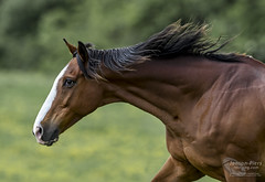 That old Chestnut!!!!....  (EXPLORED). (cjpk1) Tags: horse chestnut gallop prime 800mm explored