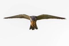 Hobby...straight at me... (trevorwilson1607) Tags: hobby falcosubbuteo hawk falcon birdofprey hunter swiftflying rapid feeding fast avian wildbird migratory summer spring outside countryside riverside chalkstream hawking nikond500 sigma500f4 2000thsec f45 320iso handheld achingshoulder