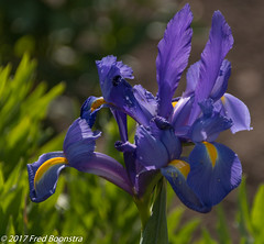 """Morning walk in our village, """"iris"""" (A.J. Boonstra) Tags: iris flowers sigma sigma18300mmf3563dcmacrooshsmc canon70d canoneos canon achterhoek"""