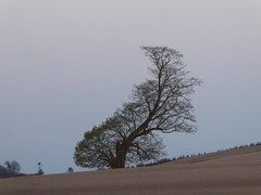 Curvaceous tree reviving (seikinsou) Tags: ireland westmeath spring curvaceous tree field hill