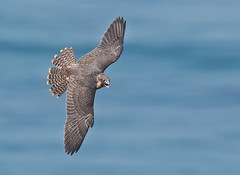 A new beginning (knobby6) Tags: peregrine falcon tiercel fledge chick birdofprey hawk cliffs california