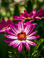 Pink Orange flower  2017 (davidmcbridephotography) Tags: tresco gardens flowers sea water sunshine travel colour vivid squirrell succulents plants trees palms boating isles scilly scillies united kingdom holiday islands scenic walking outdoors trecking rambling birds flower