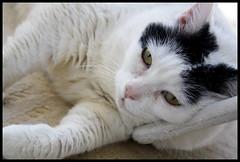 relax (sevgi_durmaz) Tags: cat animal pet kitten pamuk cute cuteness relax lovely cuteface adorablecats beautifulcats adorable ilovecats 1001nights canoneos1000d 1001nightsmagiccity
