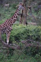2017.05.20-DSC03438 (martin_kalfatovic) Tags: 2017 kenya laikipiacounty mpalaresearchcentre reticulatedgiraffe giraffacamelopardalisreticulata mpalaresearchcentrelaikipiacountykenya