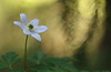 Spring White 12 (jttoivonen) Tags: nature flower plant white spring forest bokeh macro outdoors closeup finland creativecommons