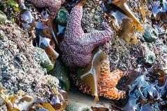 Seeing Stars (yachatsrena) Tags: seastars starfish tidepools oregoncoast animals sealife marinelife intertidal rocky coastline shore beach ocean nature