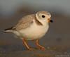 Sand digger (v4vodka) Tags: birdbirding birdwatching nature wildlife animal plover pipingplover chick pipingploverchick shorebird charadriusmelodus sieweczkablada siewka sieweczka