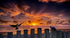 Perching (bainebiker) Tags: jackdaws birds posts beach sunset clouds sky sea sundown canonef24mmf14liiusm borth ceredigion walesuk