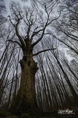 I am Ironwood (wilbias) Tags: newyork park angle tree usa falls new vertical wide state highland york hop ironwood lockport hornbeam virginiana ostrya toenniessen