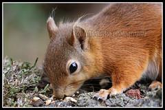 IMG_0282 Red Squirrel (Scotchjohnnie) Tags: redsquirrel sciurusvulgaris squirrel squirrelphotography rodent mammal wildanimal closeup nature naturewildlifeandbirds wildlife wildandfree canon canoneos canon7dmkii canonef100400f4556lisiiusm scotchjohnnie northeastengland