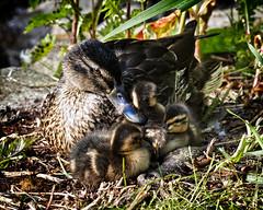 Mother's Love (MrBlueSky*) Tags: mallard duck bird waterfoul animal wildlife nature outdoor aquaticbird kewgardens royalbotanicgardens aficionados pentax pentaxart pentaxlife pentaxk1 pentaxawards pentaxflickraward london