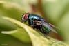 DSC_3756-Edit (TDG-77) Tags: nikon d750 sigma 105mm f28 os hsm macro fly insest