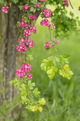 Boughs of Spring Breezes (Synapped) Tags: tree branch spring blossom pink trunk hang hanging