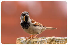 House Sparrow (Bolton Wildlife Photography) Tags: housesparrow bird animal nature wildlife uk british bolton bwp portrait