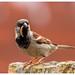 House Sparrow (Bolton Wildlife Photography) Tags: housesparrow bird animal nature wildlife uk british bolton bwp