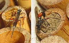 Ichneumon wasp attacks Bee Hotel (Martin Cooper Ipswich) Tags: cryptinae ichneumon hymenoptera wasp parasitoid parasite beehotel ipswich suffolk garden