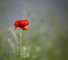 Solitude (Mazzlo) Tags: poppy hedgerow nikon d5500 solitude single alone one minimal minimalism