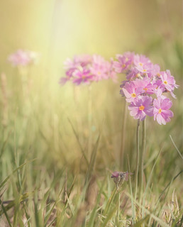 Delightful bird's-eye primrose.