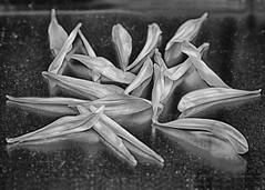 143/365 Sickened (Helen Orozco) Tags: 2017365 petals lostlives inmemoriam canonrebelsl1 bokeh standtogether manchester