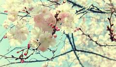 Pastel #2 (Patlees) Tags: pastels practice cherryblooms softness