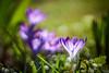 Light Funnel (matt.kueh) Tags: flower plant blume spring frühling crocus krokus bokeh bokehlicious vintagelens manualfocus m42 depthoffield helios44258mmf2