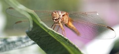 libellule (marie-christine 24) Tags: puceron repas nature sauvage macroinsectes déjeuner faim