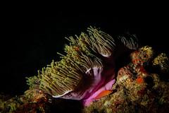 Anemone Rosa e Pesce Falco Folletto. Pink Anemone and Hawk Fish. (omar.flumignan) Tags: lankanparadise malè maldives maldive atollo atoll hawkfish anemone pink rosa pescefalcofolletto underwather sea mare sub holiday vacanza diving canon g7xmk2 fantasea fg7xmk2 ikelite ds51