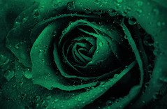 So The Day Will Begin Again (Hanna Tor) Tags: color green flower rose lyrics hannator song art artistic drop droplets