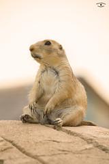 Prairiehond (Rianne Ettema Fotografie) Tags: woestijn prairiehond wildlands dierentuin zoo animal orange sitting relax